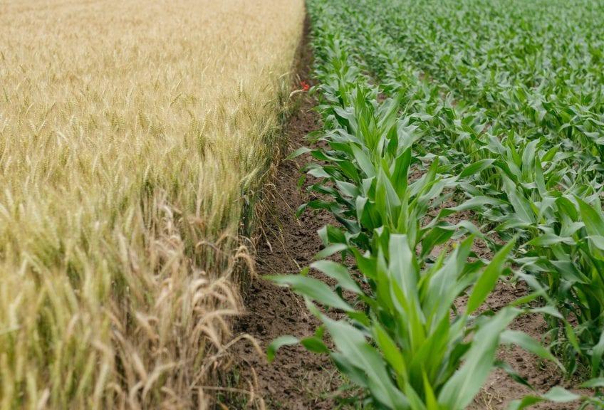 green corn plant field